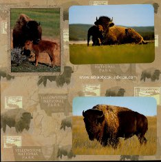 Yellowstone Scrapbook Layouts showing Buffalo & Calf and Buffalo Herds