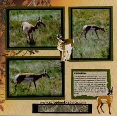 Yellowstone Park Scrapbook Layout showing the Pronghorn wildlife