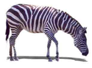 Zoo Africa Scrapbook Layout of Zebra